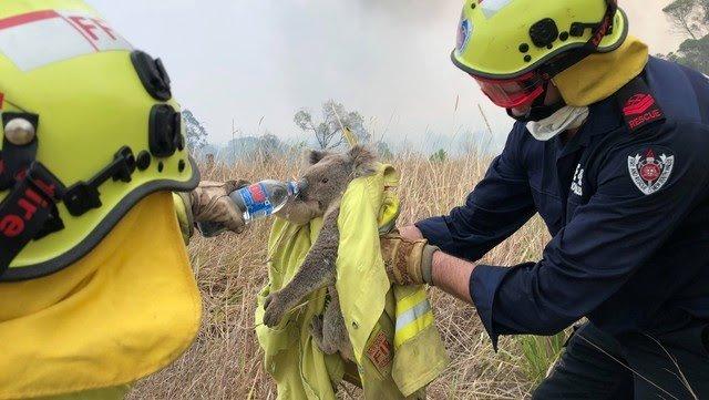 Más de la mitad de los koalas que viven en Australia han muerto en los incendios