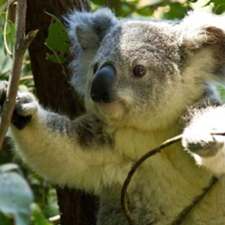 VIDEO: JÓVENES RESCATAN A KOALAS HERIDOS POR INCENDIOS EN AUSTRALIA