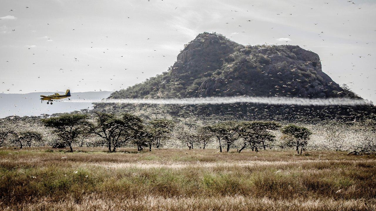 PLAGA DE LANGOSTAS EN ÁFRICA REPRESENTA UNA AMENAZA GLOBAL: ONU
