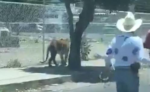 VIDEO: CAPTAN A UN TIGRE EN JALISCO Y LO ATRAPAN CON UN LAZO