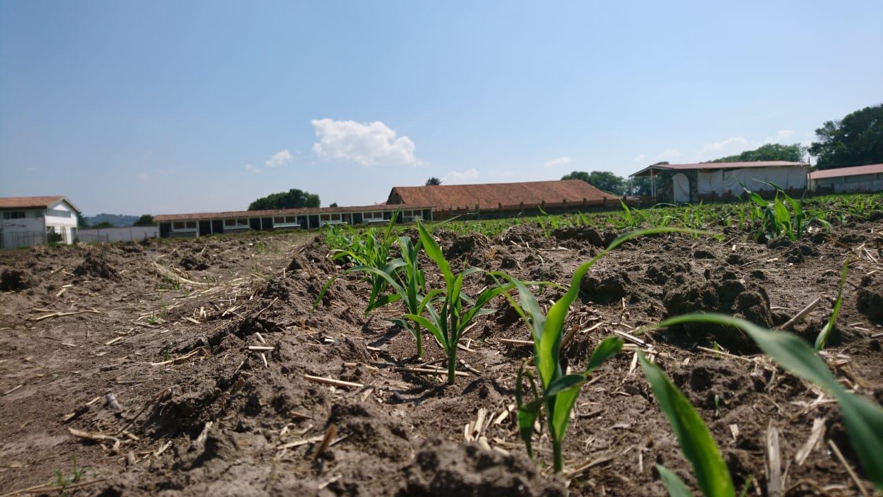 CONTRATAN A ESPECIALISTAS AGRÓNOMOS PARA FORTALECER LA PRODUCCIÓN DEL MAÍZ EN EDOMÉX