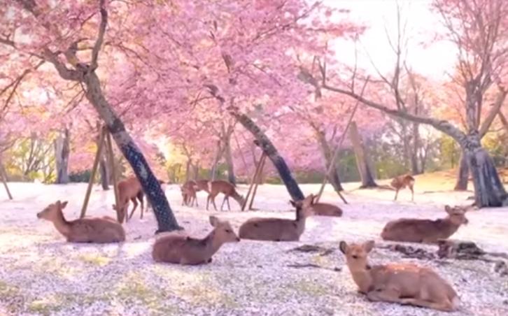 VIDEO: SIN TURISTAS, CIERVOS DESCANSAN BAJO CEREZOS DE JAPÓN
